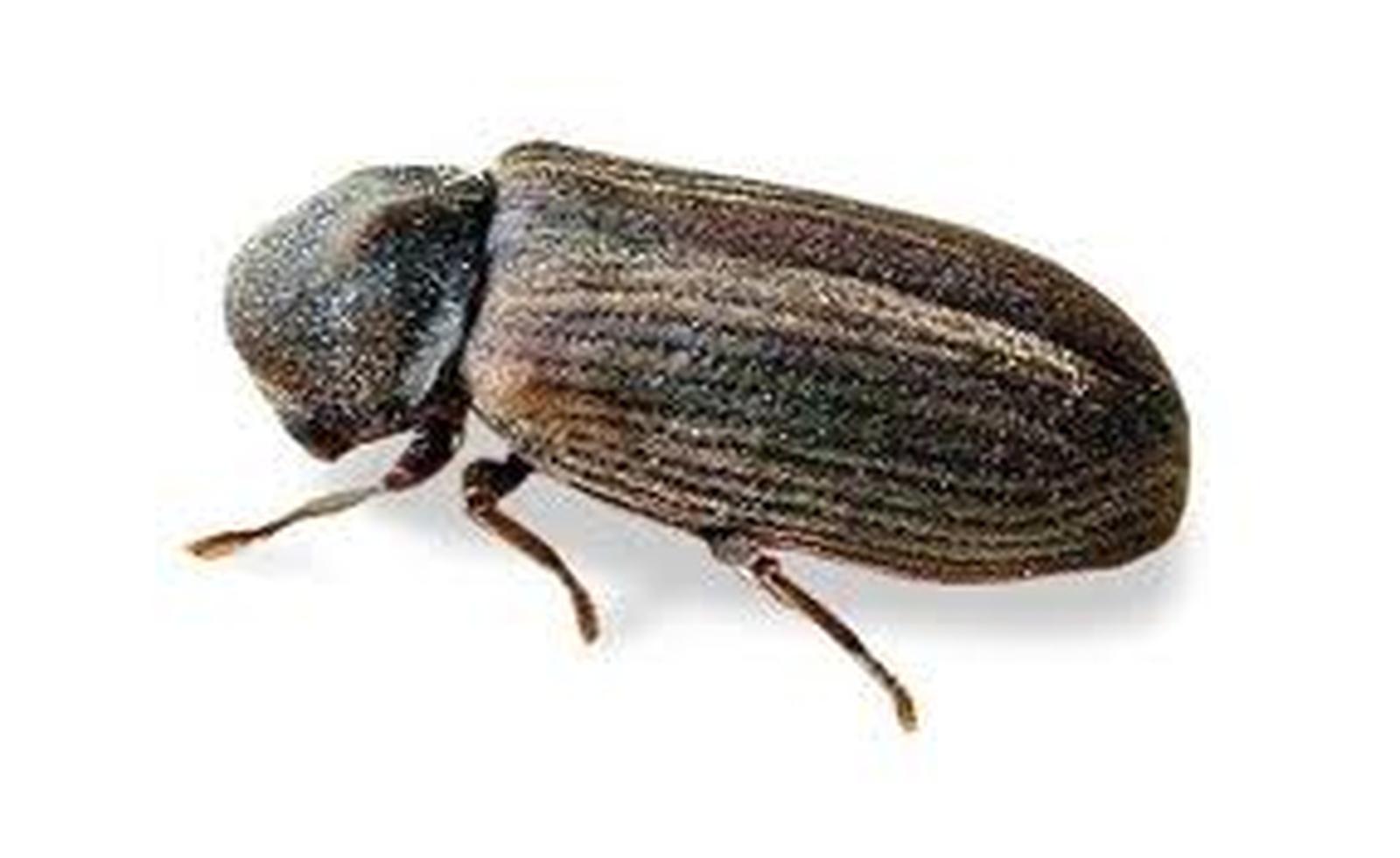 Houtworm Anobium punctatum Degeer