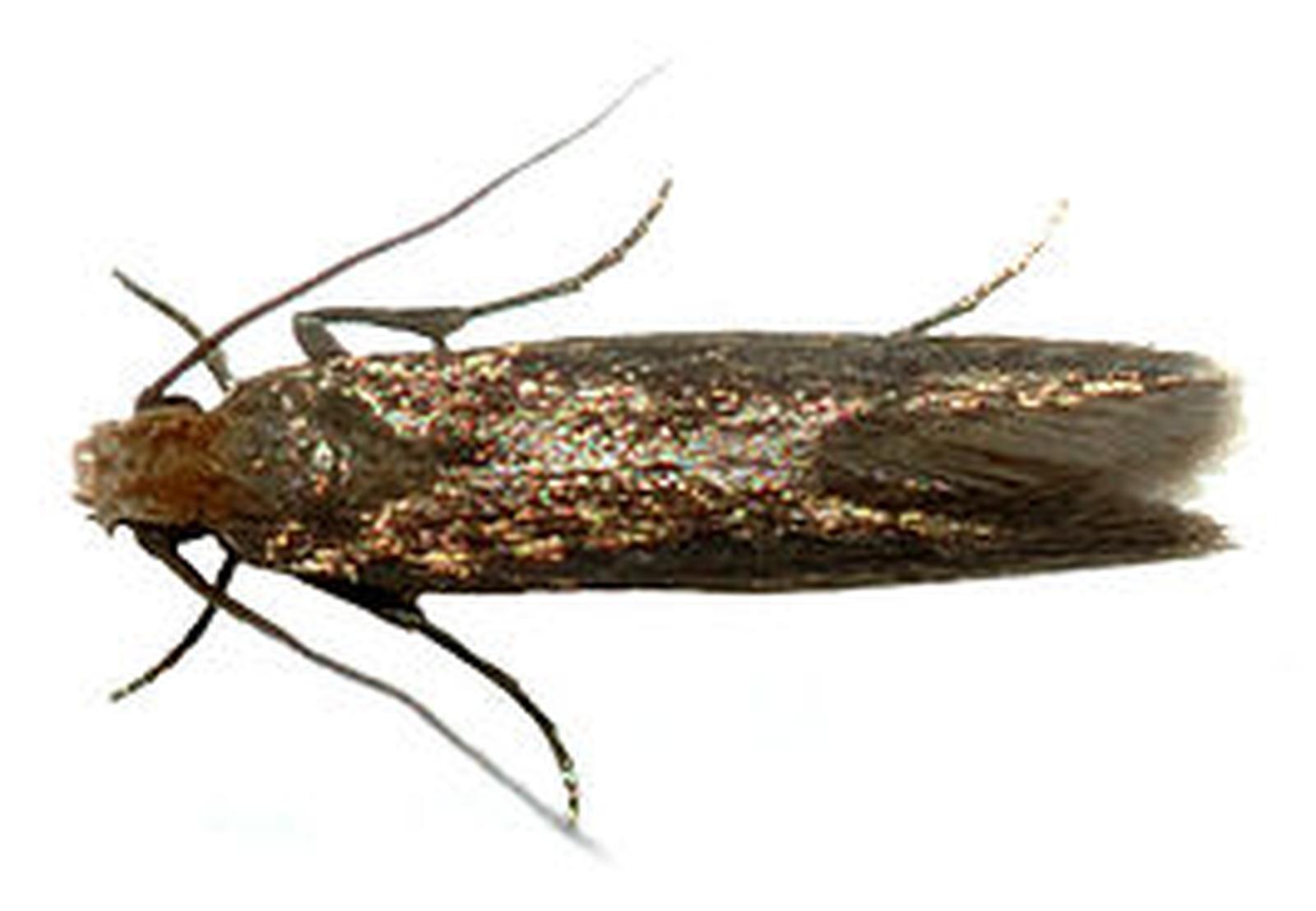 Mot Tineoidea